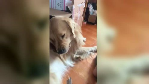 金毛狗狗不让主人给梳毛,铲屎官一句话就搞定