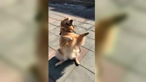 金毛狗狗出门晒太阳,狗狗玩的好开心