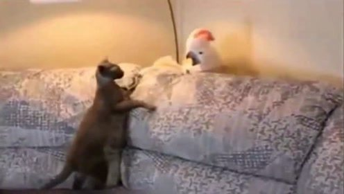 鹦鹉强势表白猫咪,遭到拒绝,吓到起飞!哈哈!