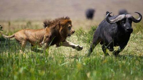 老虎怎么也想不到,咬伤水牛竟给自己带来杀身之祸