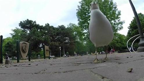 """男子用食物作饵拍海鸥却被它偷走相机 """"犯罪画面""""全录下"""