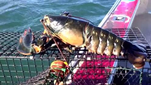 船长捕获巨无霸龙虾 掀尾查看后放回大海