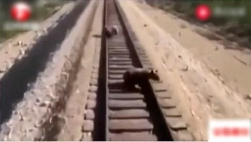 母熊带幼崽过铁路,火车驶来,为救孩子被碾压