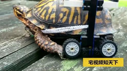 超有爱!医生为乌龟手术后给其安上特殊定制轮椅