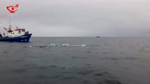 鲸鱼被渔网缠住苦苦挣扎 智利海军出手相救