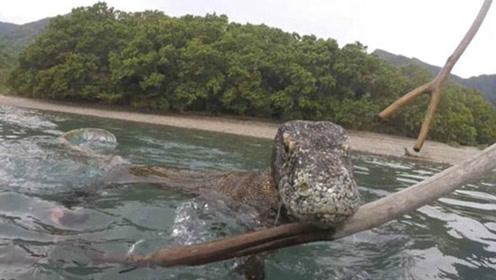 惊险 印尼摄影师近距离拍下科莫多巨蜥_01