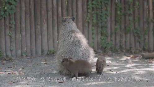 世界上最大的啮齿宠物