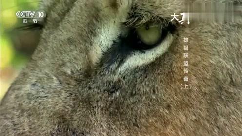 狮子群盯上了长颈鹿,团团围住之后上去就是一口