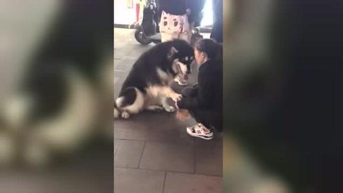 被空气过肩摔的狗子 太逗了