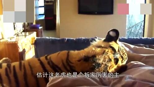 男子家养大老虎,每天早上叫主人起床,网友:也是个拆家小能手