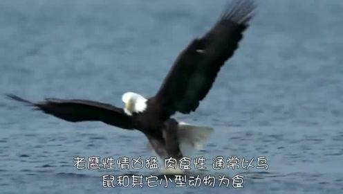 老鹰盯上小鸭,结果意外发生,被母鸭按在地上一顿猛揍到怀疑人生