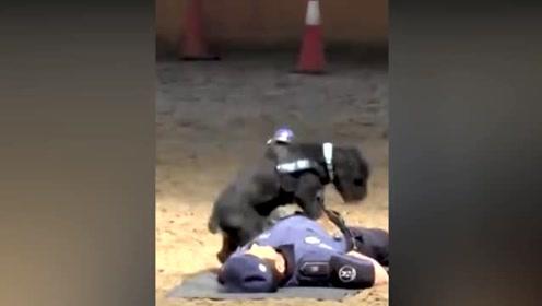 """警员假装倒地,小警犬为他做""""心脏复苏"""""""