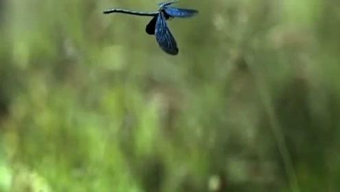 自然传奇:蜻蜓成熟了:高清记录蜻蜓的脱壳成长全过程!
