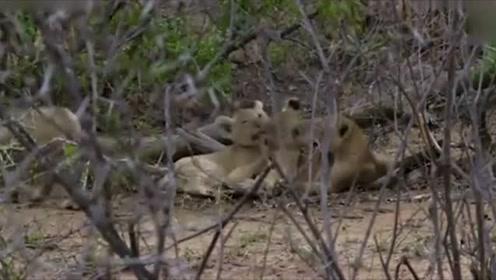 自然传奇:雄狮外出捕猎,母狮的生活度日如年