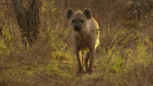 野狗们在草原上狂奔,它们的四肢有力,奔跑速度十分快!