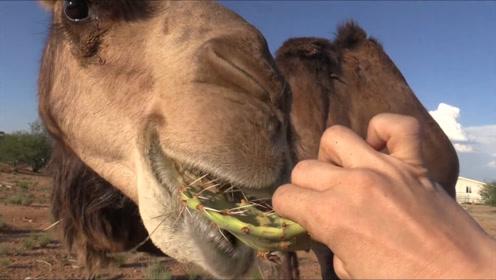 仙人掌浑身都是尖刺,骆驼却吃的津津有味,难道不扎嘴吗?