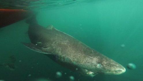 鲨鱼的寿命在百年左右,这种鲨鱼竟因为太懒而长寿,能活5百年!