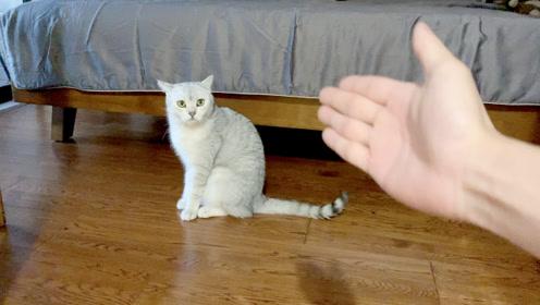 用很凶的语气赞美猫,和用很温柔的语气骂猫,猫会怎样!