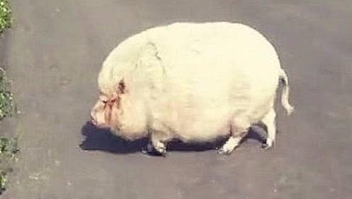 奶奶养了一头猪舍不得吃,3年后女儿进猪圈,这画面让她气急败坏