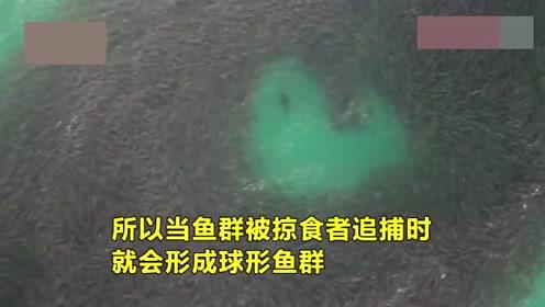 """奇观!鲑鱼群变换""""诱饵球""""形成巨型迷人图案躲避海狮捕食"""