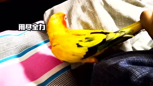 鹦鹉不听话戳镜头,主人亲自惩罚它,鹦鹉却能聪明挣脱