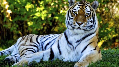 为何吃过人的老虎一定要杀死?真相揭露后,网友:差点就信了!