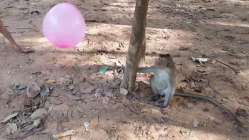 猴子抢走小孩手上的气球,当气球爆掉的那一刻,猴子懵了