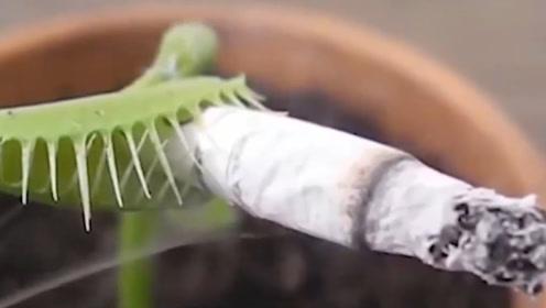 男子为了报复食蝇草,决定给食蝇草抽烟,下一秒忍住别笑!