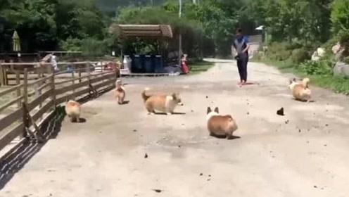 在土路上洒点水吸引来一群蝴蝶 把家里的8只柯基犬乐坏了
