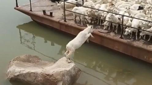 这只羊是高手,你们对高手一无所知,居然完美的避开了栏杆