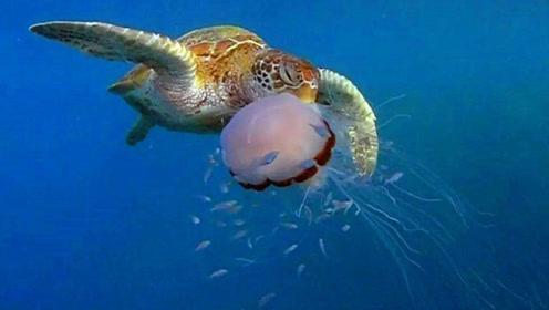 海龟吃水母,一口吸进去就像吃面条一样,网友:胃口真大!