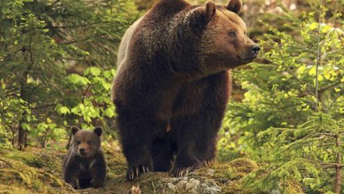 熊胆包天想吃鹿肉却被电了两次,接下来的举动让人意外