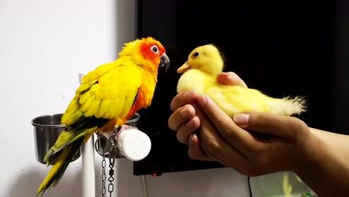 鹦鹉柯尔鸭的战斗马上就要开始,鹦鹉处于下风?小鸭子这么厉害?