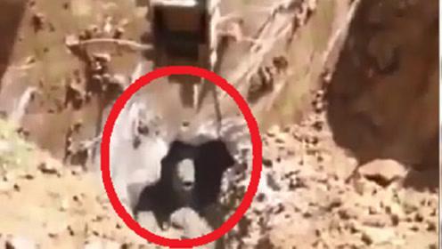 挖掘机正在工作,不小心挖到了熊的巢穴,镜头记录全过程
