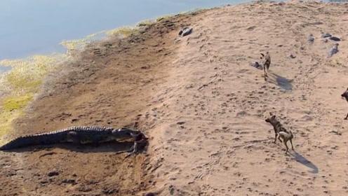 野狗在岸边,鳄鱼大摇大摆从水中出来,意想不到的画面出现了