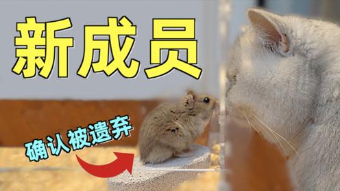小仓鼠惊魂三日,差点被肥猫吃掉!大难不死必有后福