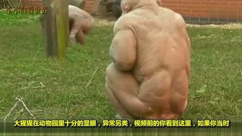 全身没毛的大猩猩,就像没穿衣服的人,女游客:十分辣眼睛