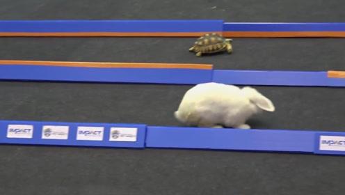 龟兔赛跑在现实中会有什么结果 实验结果让人哭笑不得