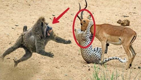 猎豹捕食羚羊正要享用,羚羊吓的放弃抵抗,狒狒突然出手救下羚羊