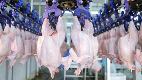 德国杀鸡生产线,鸡放上去还没回过神就被掏空了!简直不可思议
