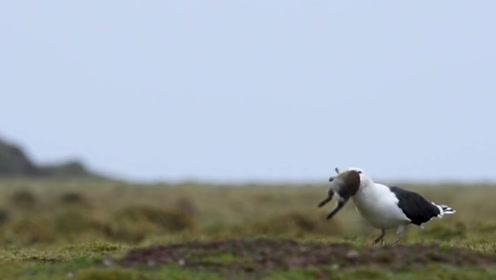 镜头记录海鸥捕食全过程,吃东西的方式太独特了,不要小看会飞的