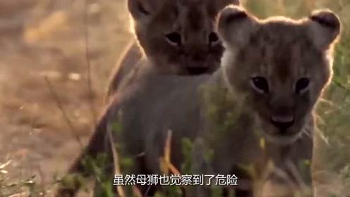 母狮带着幼仔出来玩耍,被鬣狗偷袭,幼狮的结局让人不忍心看