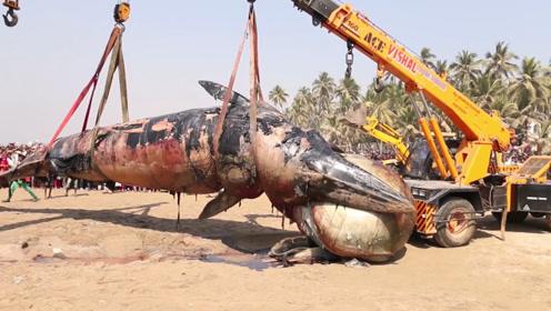 世界上最大的动物,500公斤的心脏!太不可思议了