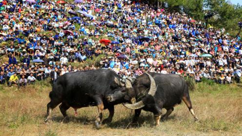 贵州一老牛去世16人抬被厚葬,送行队伍隆重葬礼声势浩大