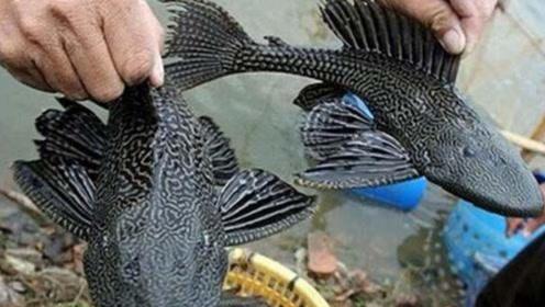 太凶残了!水中有清道夫就没有其他鱼了吗?真的是这样