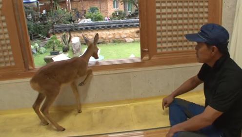 野鹿闯进人类居所,一个手势它便明白了意思,厉害了!