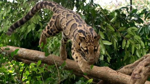 中国国家一级保护动物,比黑豹还珍稀,知道它的人没多少!