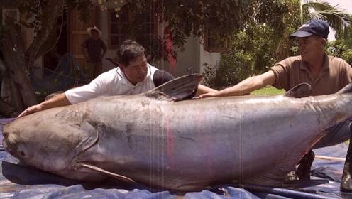 迄今钓上来最大的鱼Top10,鲶鱼比人大,鲨鱼重量超过1吨!