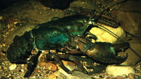 虾界巨兽大得离谱,重达十斤寿命堪比人类