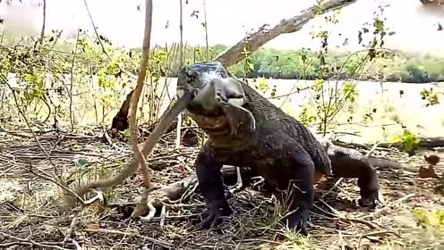 3米长科莫多巨蜥6口把一猴子从头到尾整个吞下